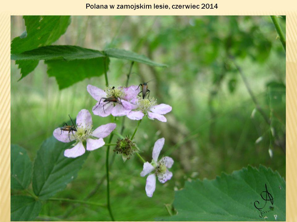 Polana w zamojskim lesie, czerwiec 2014