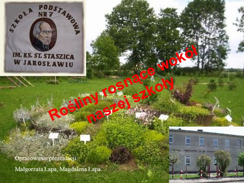 Rośliny rosnące wokół naszej szkoły Opracowanie prezentacji: Małgorzata Łapa, Magdalena Łapa