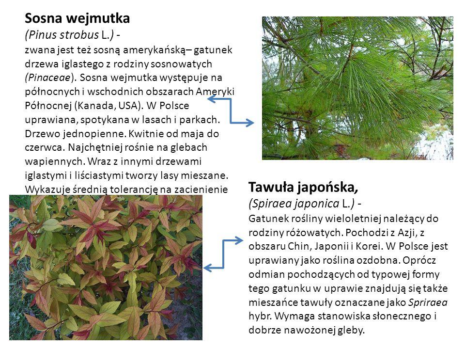 Sosna wejmutka (Pinus strobus L.) - zwana jest też sosną amerykańską– gatunek drzewa iglastego z rodziny sosnowatych (Pinaceae). Sosna wejmutka występ