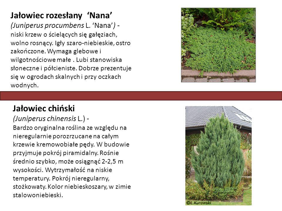Jałowiec rozesłany 'Nana' (Juniperus procumbens L. 'Nana') - niski krzew o ścielących się gałęziach, wolno rosnący. Igły szaro-niebieskie, ostro zakoń