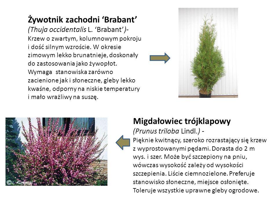 Żywotnik zachodni 'Brabant' (Thuja occidentalis L. 'Brabant')- Krzew o zwartym, kolumnowym pokroju i dość silnym wzroście. W okresie zimowym lekko bru