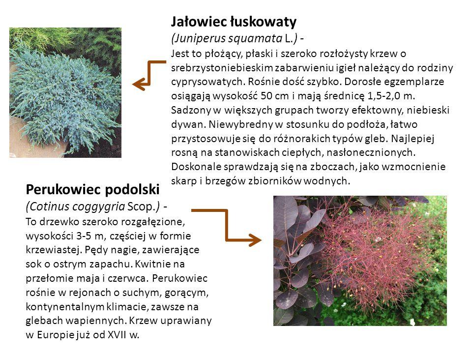 Perukowiec podolski (Cotinus coggygria Scop.) - To drzewko szeroko rozgałęzione, wysokości 3-5 m, częściej w formie krzewiastej. Pędy nagie, zawierają