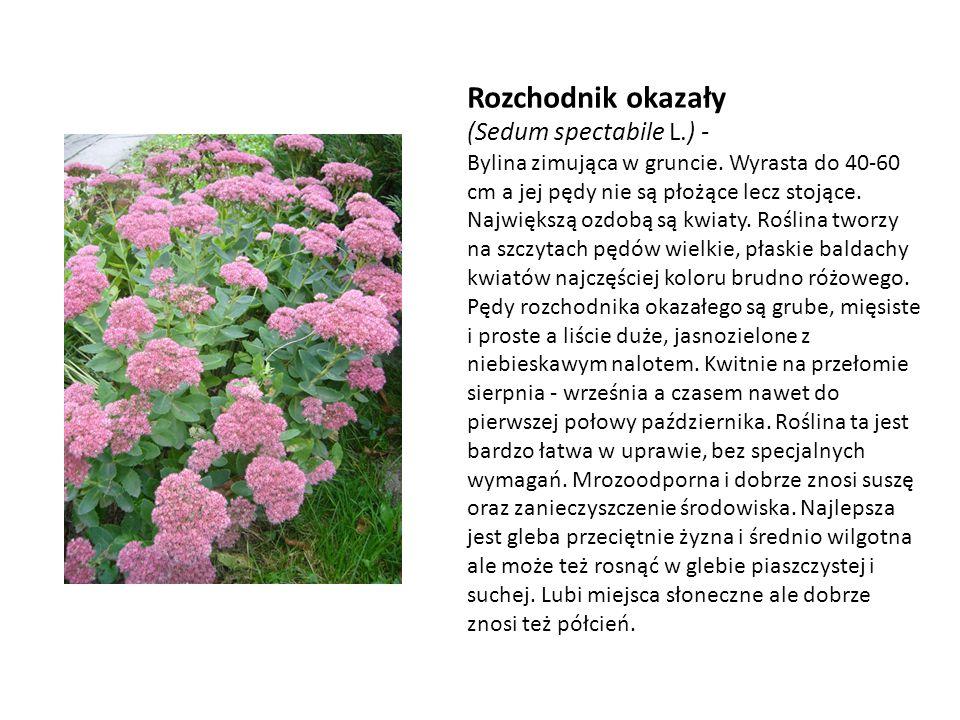 Rozchodnik okazały (Sedum spectabile L.) - Bylina zimująca w gruncie. Wyrasta do 40-60 cm a jej pędy nie są płożące lecz stojące. Największą ozdobą są