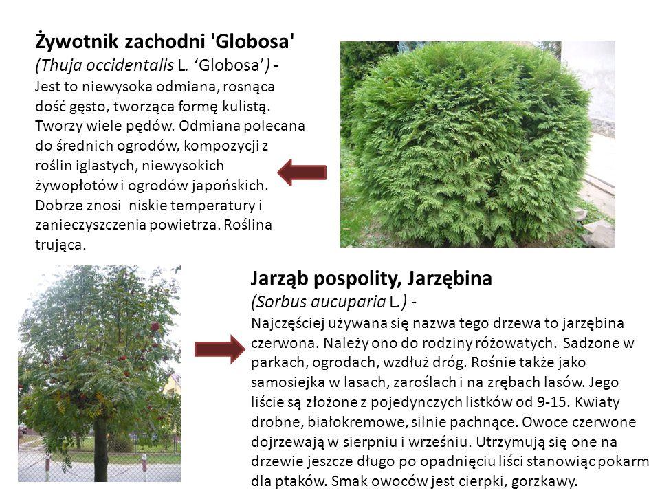 Żywotnik zachodni 'Globosa' (Thuja occidentalis L. 'Globosa') - Jest to niewysoka odmiana, rosnąca dość gęsto, tworząca formę kulistą. Tworzy wiele pę