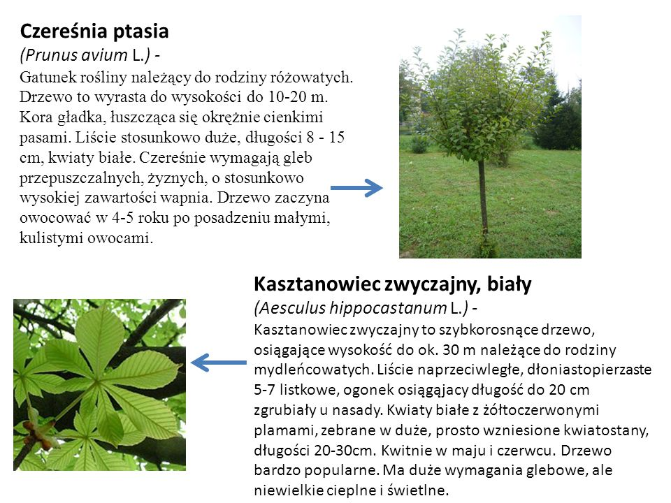 Czereśnia ptasia (Prunus avium L.) - Gatunek rośliny należący do rodziny różowatych. Drzewo to wyrasta do wysokości do 10-20 m. Kora gładka, łuszcząca