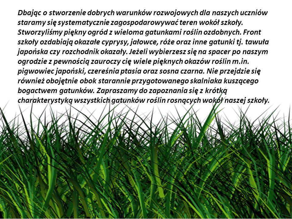 Kocanki piaskowe (Helichrysum arenarium (L.) Moench) – gatunek byliny należący do rodziny astrowatych.