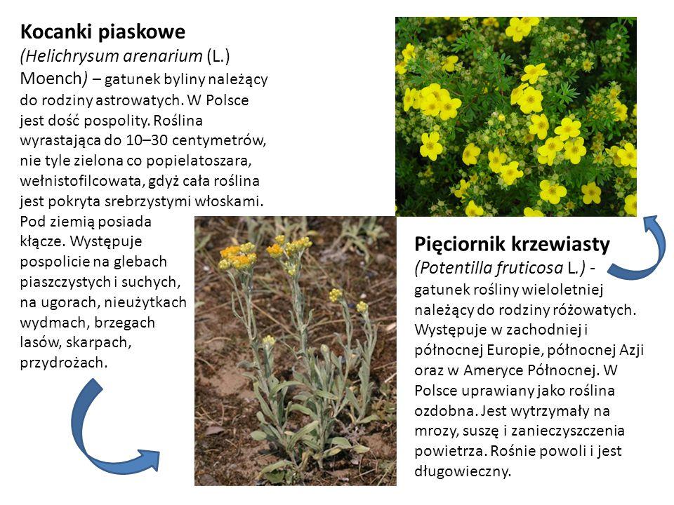 Kocanki piaskowe (Helichrysum arenarium (L.) Moench) – gatunek byliny należący do rodziny astrowatych. W Polsce jest dość pospolity. Roślina wyrastają