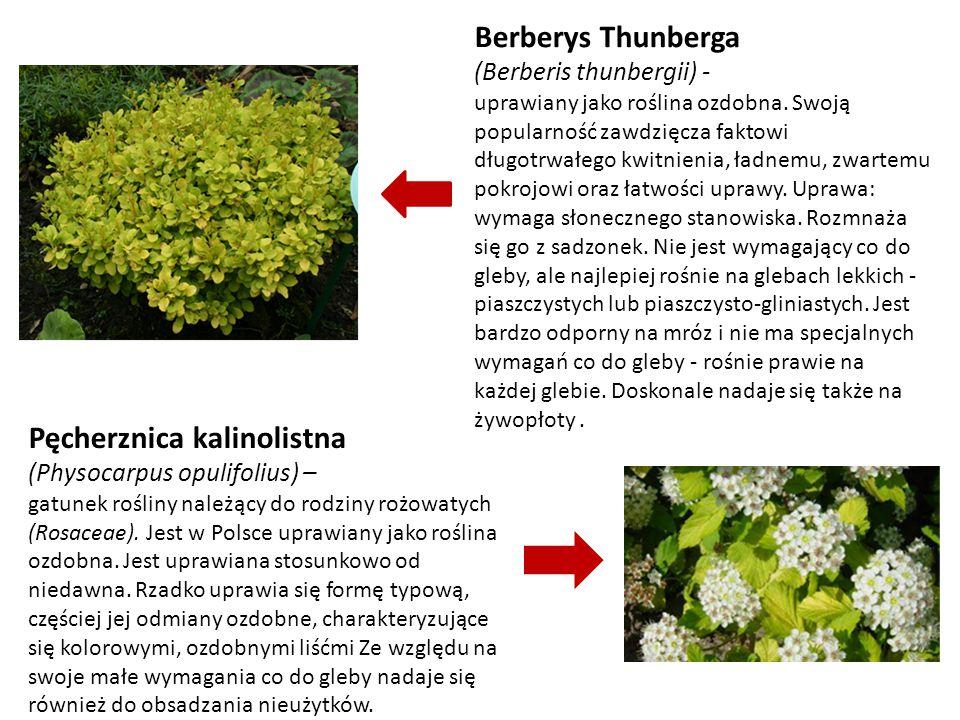 Berberys Thunberga (Berberis thunbergii) - uprawiany jako roślina ozdobna. Swoją popularność zawdzięcza faktowi długotrwałego kwitnienia, ładnemu, zwa