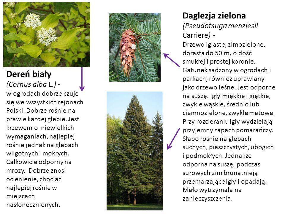 Dereń biały (Cornus alba L.) - w ogrodach dobrze czuje się we wszystkich rejonach Polski. Dobrze rośnie na prawie każdej glebie. Jest krzewem o niewie