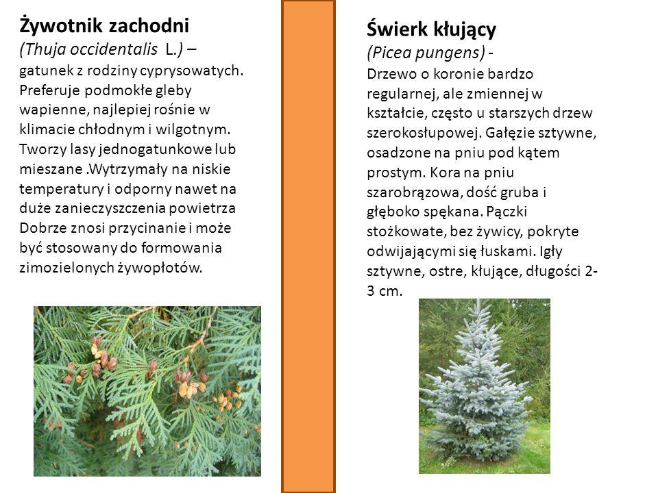 Żywotnik zachodni (Thuja occidentalis L.) – gatunek z rodziny cyprysowatych. Preferuje podmokłe gleby wapienne, najlepiej rośnie w klimacie chłodnym i