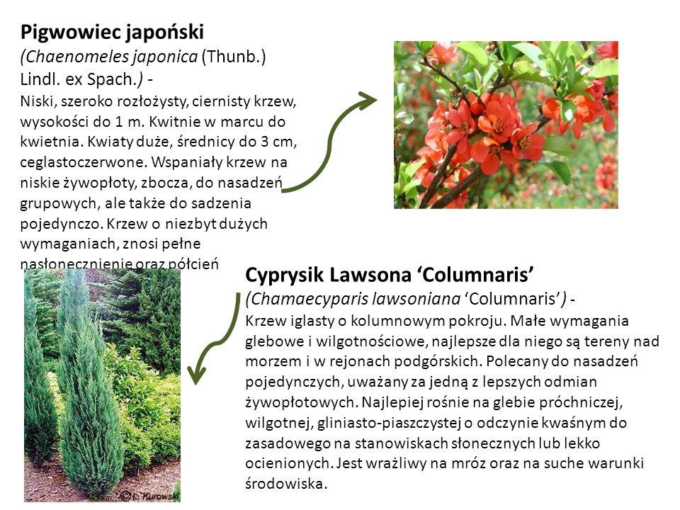 Pigwowiec japoński (Chaenomeles japonica (Thunb.) Lindl. ex Spach.) - Niski, szeroko rozłożysty, ciernisty krzew, wysokości do 1 m. Kwitnie w marcu do
