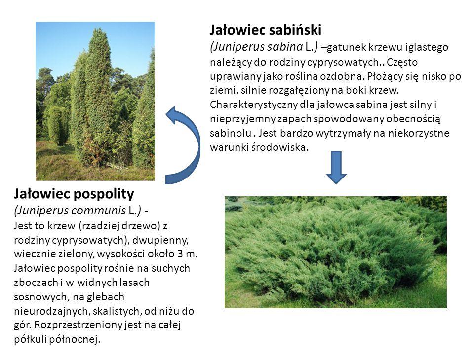 Jałowiec sabiński (Juniperus sabina L.) –gatunek krzewu iglastego należący do rodziny cyprysowatych.. Często uprawiany jako roślina ozdobna. Płożący s