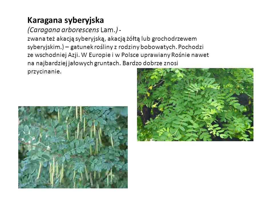 Karagana syberyjska (Caragana arborescens Lam.) - zwana też akacją syberyjską, akacją żółtą lub grochodrzewem syberyjskim.) – gatunek rośliny z rodzin