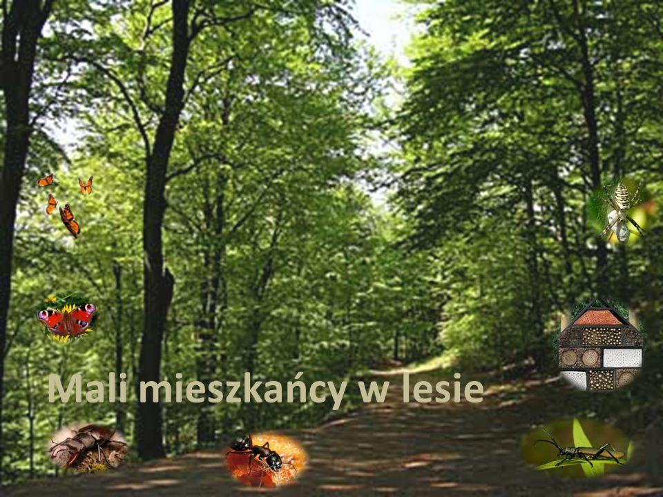 W lesie żyje wiele owadów. Są wśród nich motyle, pszczoły, biedronki mrówki.