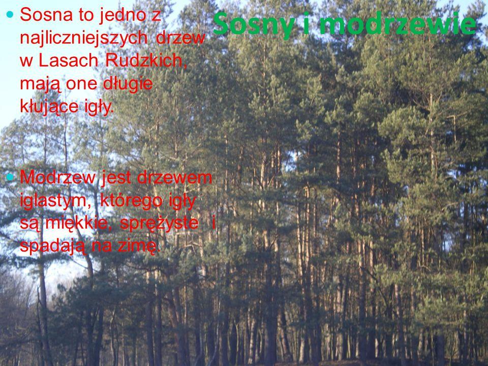 Sosny i modrzewie Sosna to jedno z najliczniejszych drzew w Lasach Rudzkich, mają one długie kłujące igły. Modrzew jest drzewem iglastym, którego igły