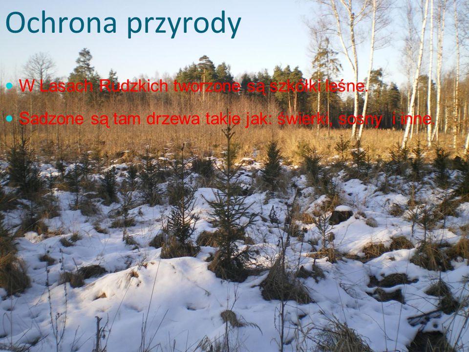 Ochrona przyrody W Lasach Rudzkich tworzone są szkółki leśne. Sadzone są tam drzewa takie jak: świerki, sosny i inne.