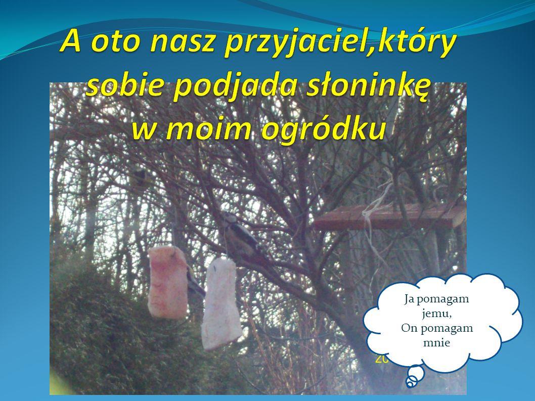 Najpopularniejszym gatunkiem dzięciołów występujących w Polsce jest dzięcioł duży.