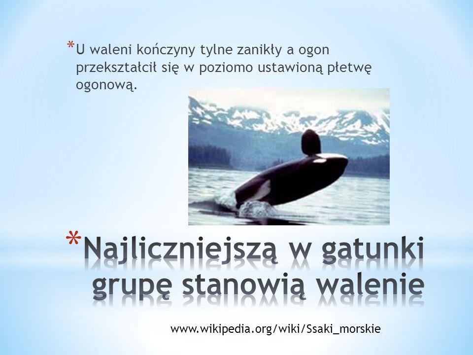 * U waleni kończyny tylne zanikły a ogon przekształcił się w poziomo ustawioną płetwę ogonową. www.wikipedia.org/wiki/Ssaki_morskie