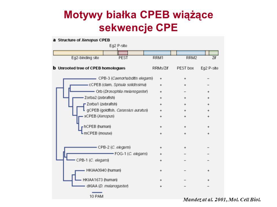 Motywy białka CPEB wiążące sekwencje CPE Mandez at al. 2001, Mol. Cell Biol.