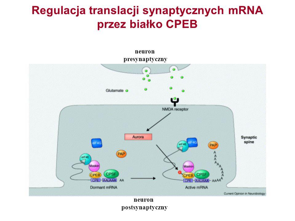 Regulacja translacji synaptycznych mRNA przez białko CPEB neuron postsynaptyczny neuron presynaptyczny