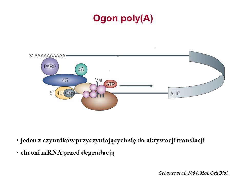 Ogon poly(A) jeden z czynników przyczyniających się do aktywacji translacji chroni mRNA przed degradacją Gebauer at al. 2004, Mol. Cell Biol.