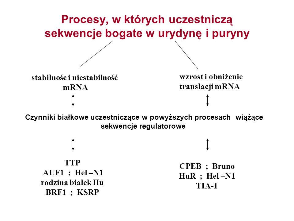 Procesy, w których uczestniczą sekwencje bogate w urydynę i puryny stabilnośc i niestabilność mRNA wzrost i obniżenie translacji mRNA TTP AUF1 ; Hel –