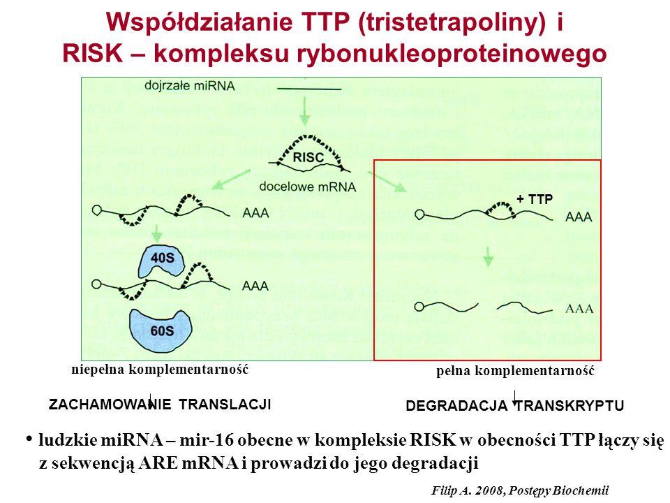 Współdziałanie TTP (tristetrapoliny) i RISK – kompleksu rybonukleoproteinowego niepełna komplementarność ZACHAMOWANIE TRANSLACJI pełna komplementarnoś