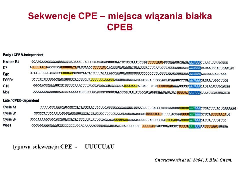 Sekwencje CPE – miejsca wiązania białka CPEB Charlesworth at al. 2004, J. Biol. Chem. typowa sekwencja CPE - UUUUUAU