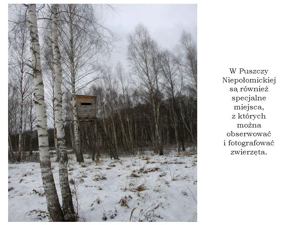 W Puszczy Niepołomickiej są również specjalne miejsca, z których można obserwować i fotografować zwierzęta.