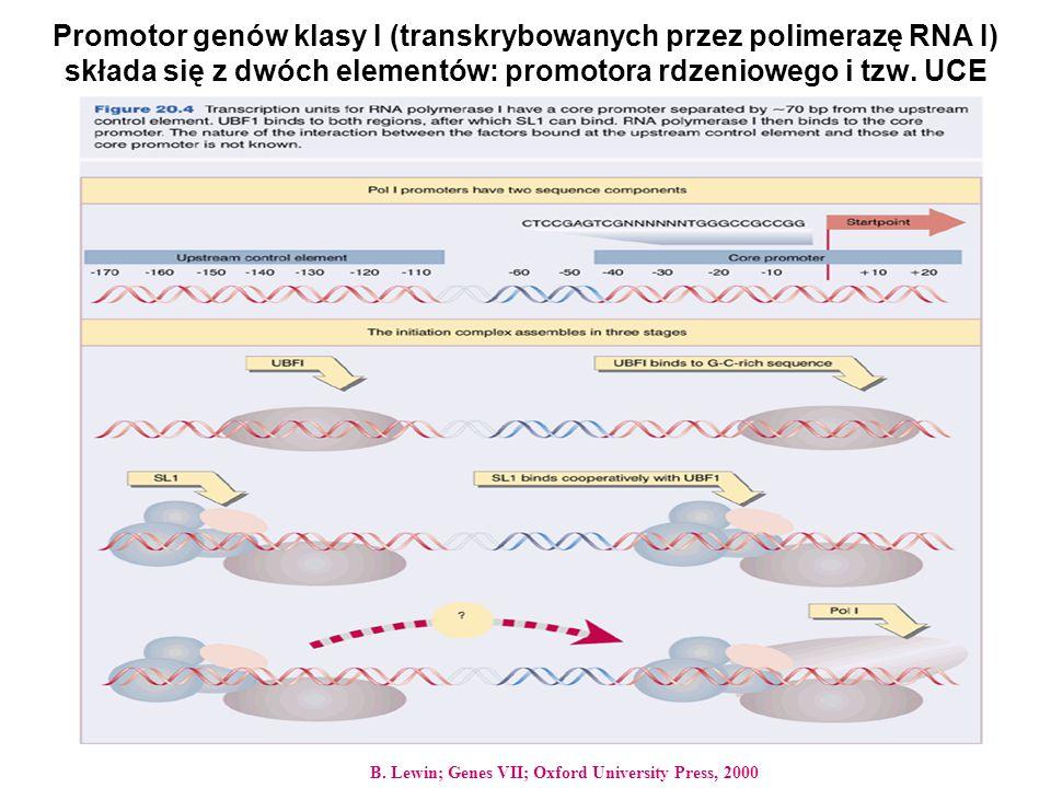 Promotor genów klasy I (transkrybowanych przez polimerazę RNA I) składa się z dwóch elementów: promotora rdzeniowego i tzw. UCE B. Lewin; Genes VII; O