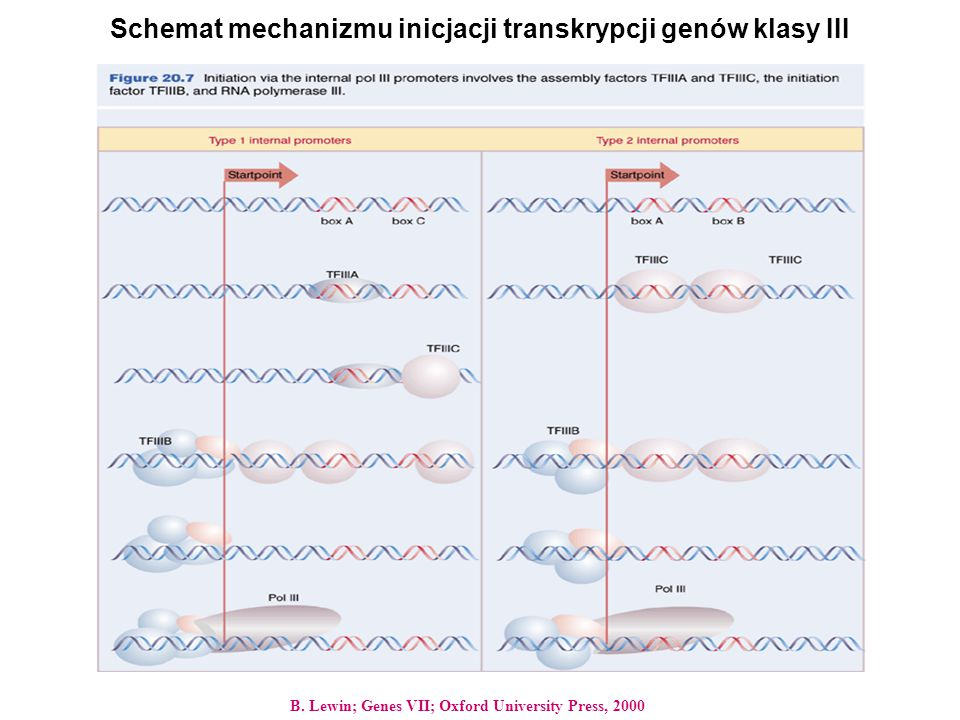 Schemat mechanizmu inicjacji transkrypcji genów klasy III B. Lewin; Genes VII; Oxford University Press, 2000