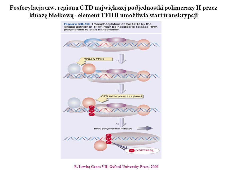 Fosforylacja tzw. regionu CTD największej podjednostki polimerazy II przez kinazę białkową - element TFIIH umożliwia start transkrypcji B. Lewin; Gene