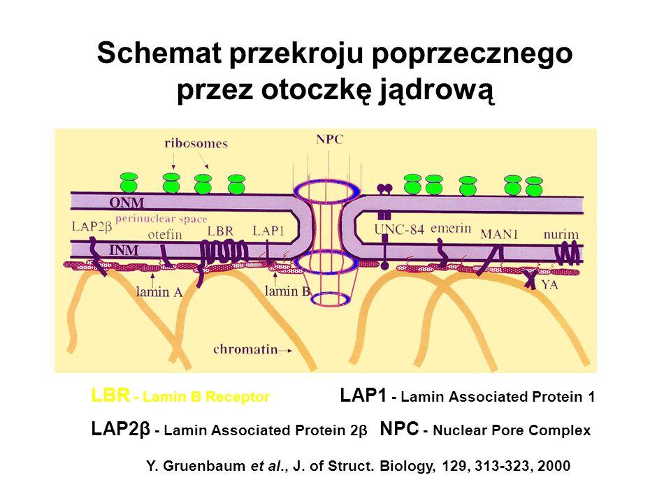 Schemat przekroju poprzecznego przez otoczkę jądrową Y. Gruenbaum et al., J. of Struct. Biology, 129, 313-323, 2000 LBR - Lamin B Receptor LAP2β - Lam