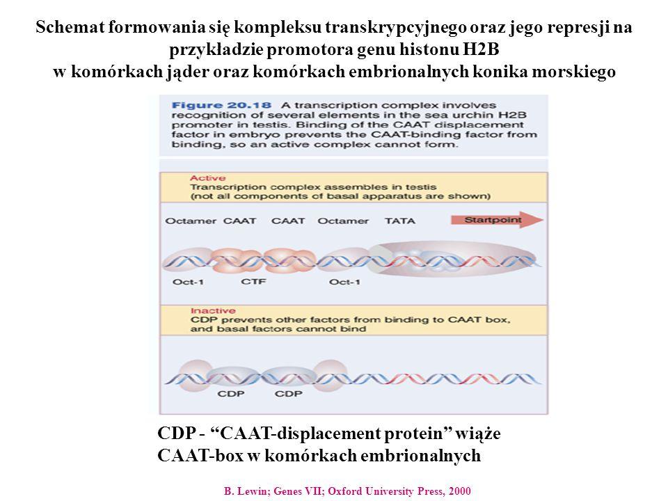Schemat formowania się kompleksu transkrypcyjnego oraz jego represji na przykładzie promotora genu histonu H2B w komórkach jąder oraz komórkach embrio