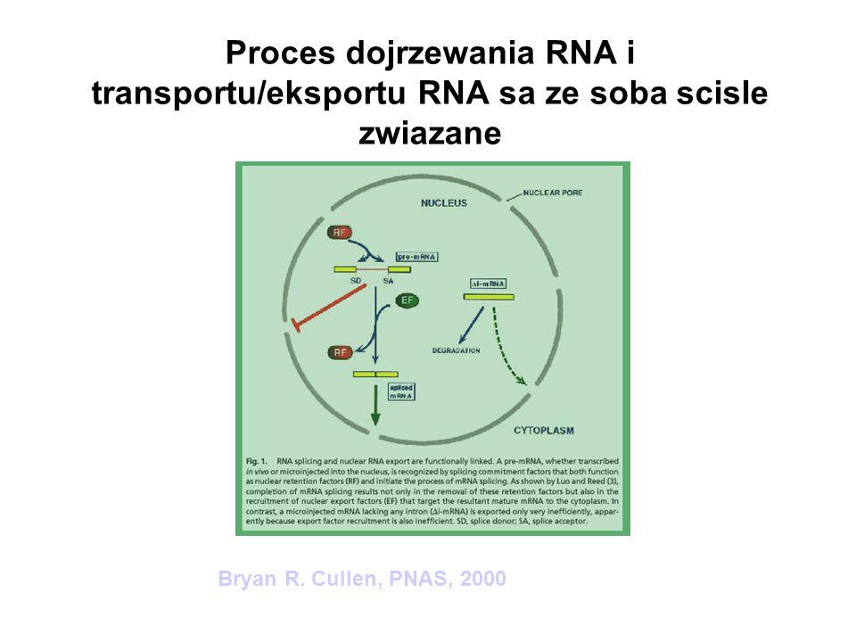 Schemat funkcji białka Mfd w reperacji DNA zależnej od transkrypcji u bakterii B.