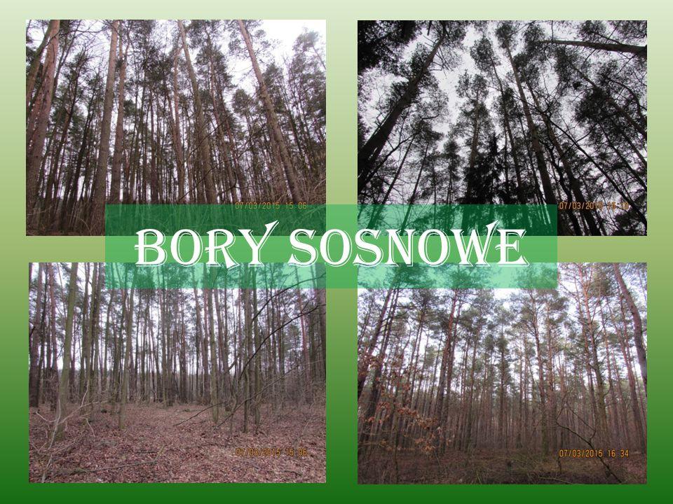 LASY Lasy zajmują około 1/3 powierzchni Polski. W większości są to lasy iglaste, posadzone na obszarach, gdzie wycięto lasy naturalne. Lasy iglaste to