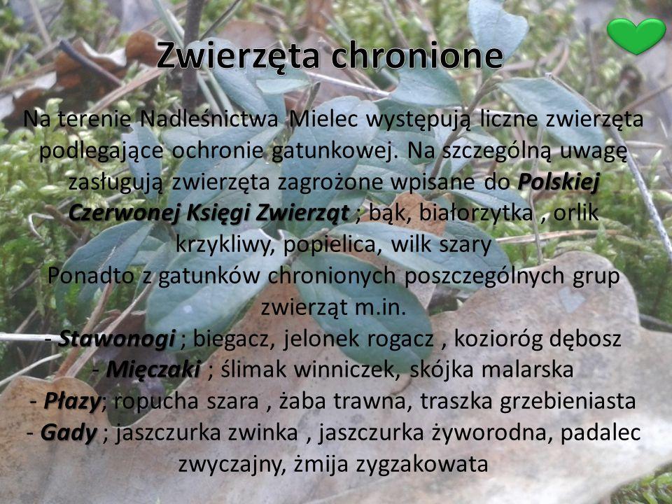 Polskiej Czerwonej Księgi Zwierząt Stawonogi Mięczaki Płazy Gady Na terenie Nadleśnictwa Mielec występują liczne zwierzęta podlegające ochronie gatunk
