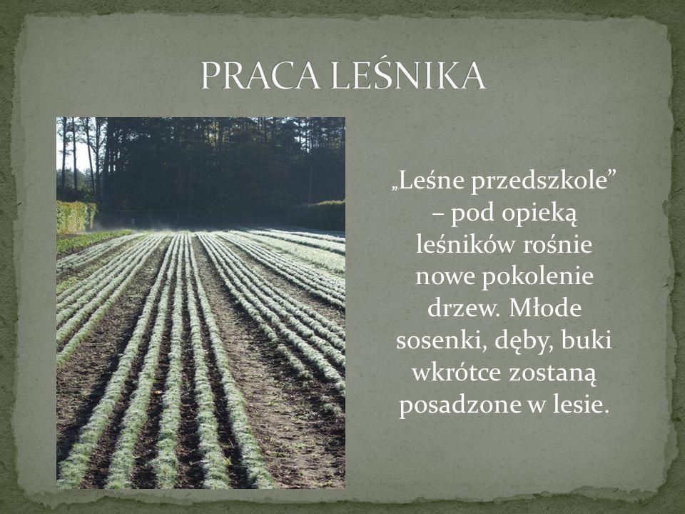 """"""" Leśne przedszkole – pod opieką leśników rośnie nowe pokolenie drzew."""