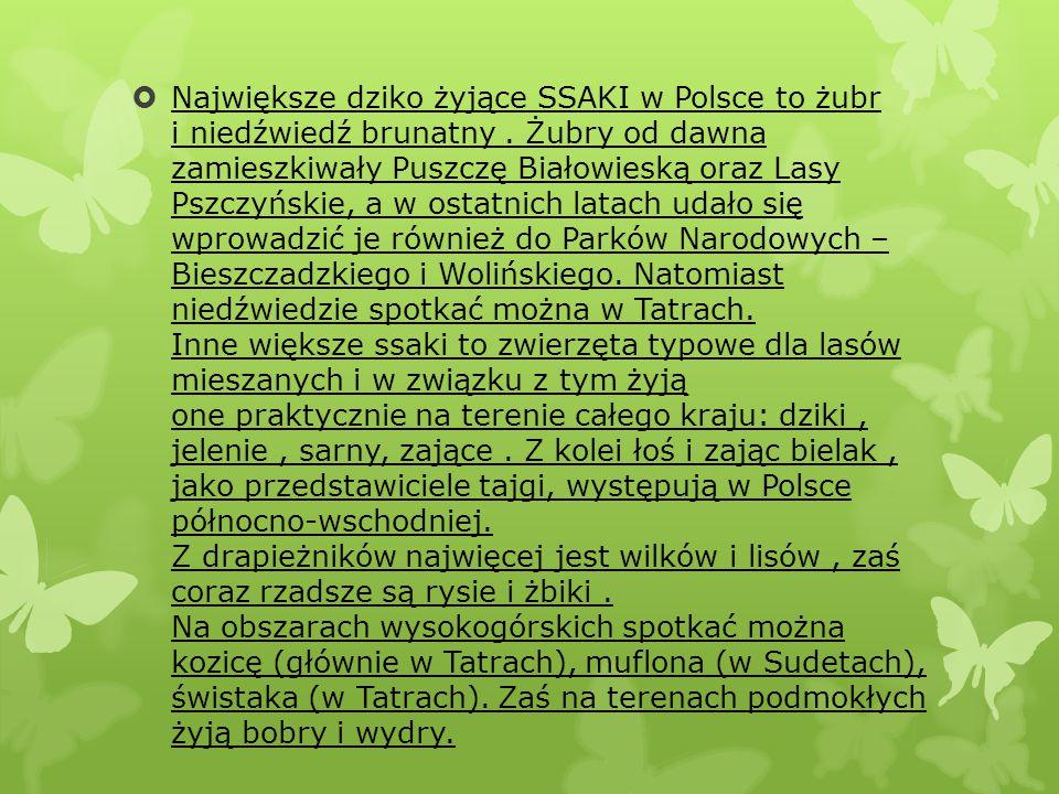  Największe dziko żyjące SSAKI w Polsce to żubr i niedźwiedź brunatny. Żubry od dawna zamieszkiwały Puszczę Białowieską oraz Lasy Pszczyńskie, a w os