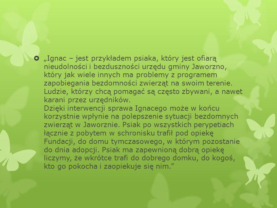""" """"Ignac – jest przykładem psiaka, który jest ofiarą nieudolności i bezduszności urzędu gminy Jaworzno, który jak wiele innych ma problemy z programem"""