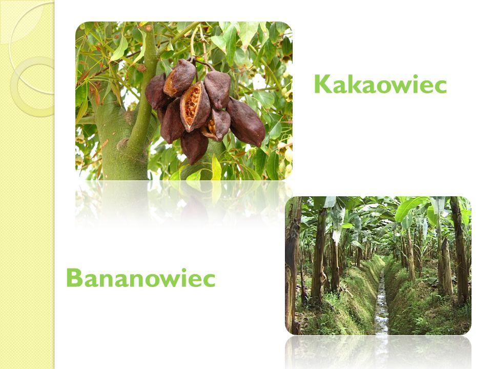 Kakaowiec Bananowiec