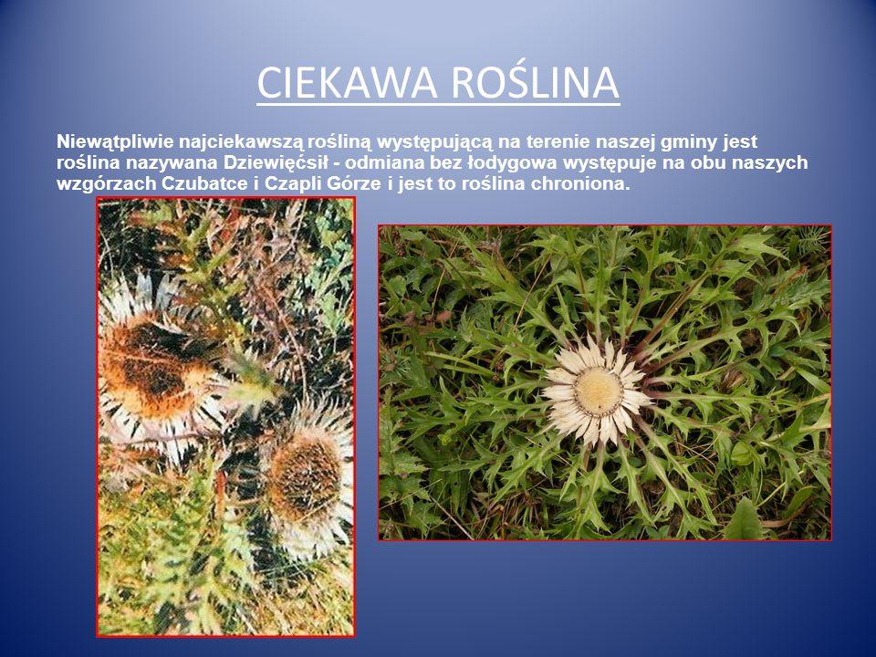 CIEKAWA ROŚLINA Niewątpliwie najciekawszą rośliną występującą na terenie naszej gminy jest roślina nazywana Dziewięćsił - odmiana bez łodygowa występuje na obu naszych wzgórzach Czubatce i Czapli Górze i jest to roślina chroniona.