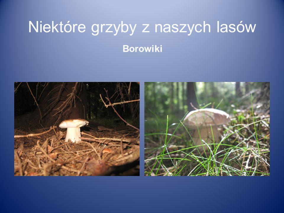 Niektóre grzyby z naszych lasów Borowiki