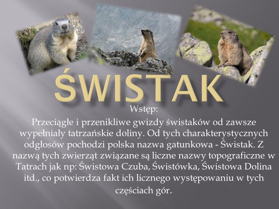 Wstęp: Przeciągłe i przenikliwe gwizdy świstaków od zawsze wypełniały tatrzańskie doliny. Od tych charakterystycznych odgłosów pochodzi polska nazwa g