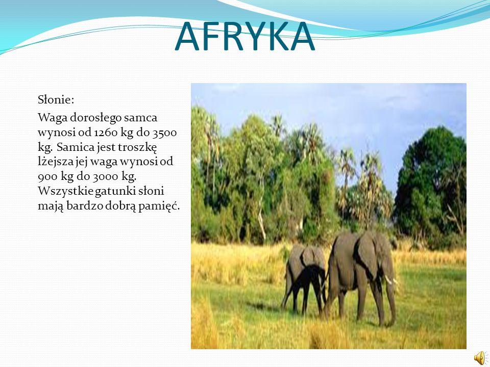AFRYKA Słonie: Waga dorosłego samca wynosi od 1260 kg do 3500 kg. Samica jest troszkę lżejsza jej waga wynosi od 900 kg do 3000 kg. Wszystkie gatunki