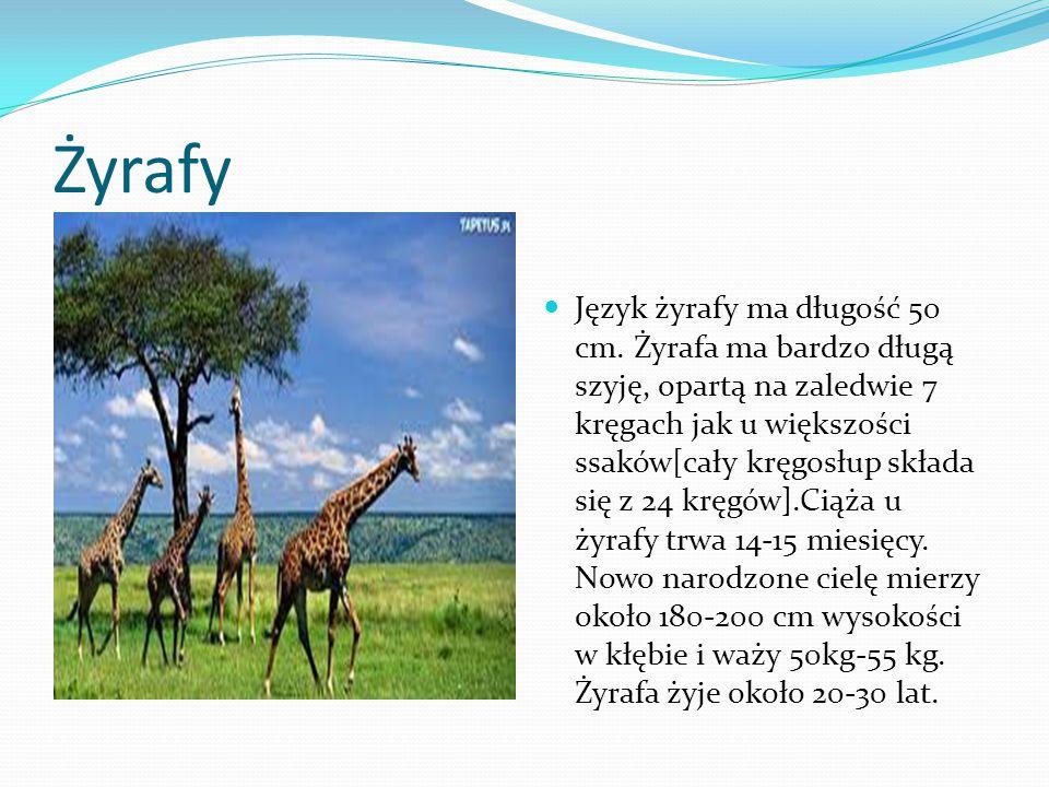 Żyrafy Język żyrafy ma długość 50 cm. Żyrafa ma bardzo długą szyję, opartą na zaledwie 7 kręgach jak u większości ssaków[cały kręgosłup składa się z 2