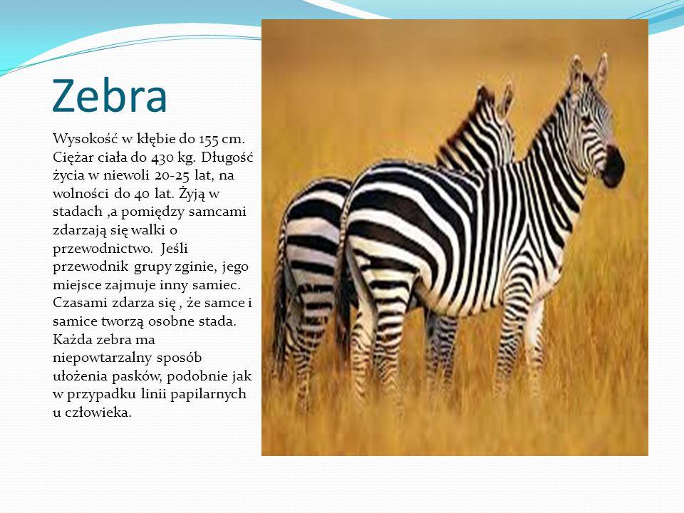 Zebra Wysokość w kłębie do 155 cm. Ciężar ciała do 430 kg. Długość życia w niewoli 20-25 lat, na wolności do 40 lat. Żyją w stadach,a pomiędzy samcami