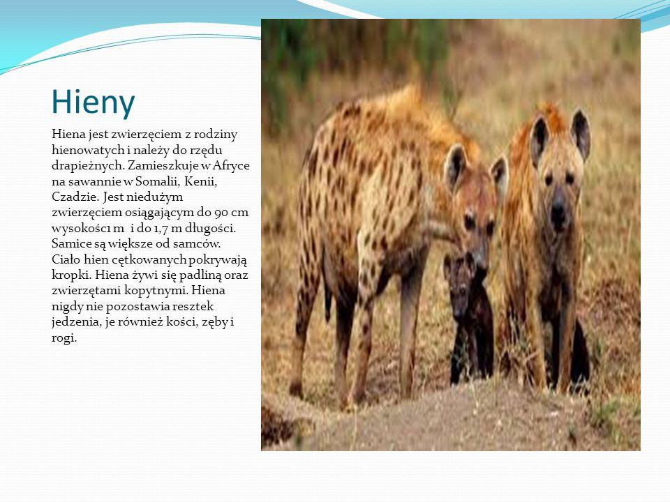 Hieny Hiena jest zwierzęciem z rodziny hienowatych i należy do rzędu drapieżnych. Zamieszkuje w Afryce na sawannie w Somalii, Kenii, Czadzie. Jest nie