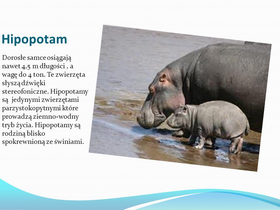 Hipopotam Dorosłe samce osiągają nawet 4,5 m długości, a wagę do 4 ton. Te zwierzęta słyszą dźwięki stereofoniczne. Hipopotamy są jedynymi zwierzętami
