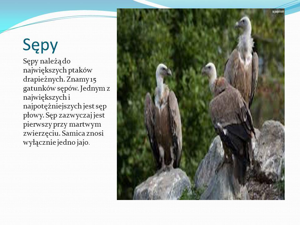 Sępy Sępy należą do największych ptaków drapieżnych. Znamy 15 gatunków sępów. Jednym z największych i najpotężniejszych jest sęp płowy. Sęp zazwyczaj